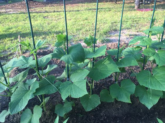 Cucumbers growing and looking nice!