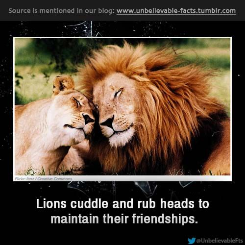 Lions cuddle and rub heads to maintain their friendships.