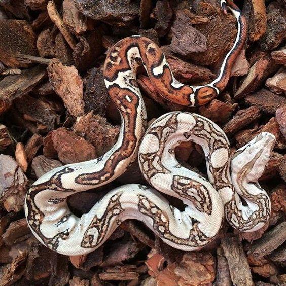 Jungle I produced last season BOAS F❤️R LIFE #boa #boas #boaconstrictor #boaconstrictors #boaofig #boaofinstagram #snake #snakes #snakeofig #snakesofig #snakeofinstagram #petofig #petofinstagram #redtail #redtails #redtailboa #snakebite #redtailboas #snakemorph #snakemorphs #boamorph #boamorphs #boasofinstagram #snake #snakes #reptile #reptiles #reptileofinstagram #snakeofinstagram #snakesofinstagram #coldblooded #Aarhus #Denmark