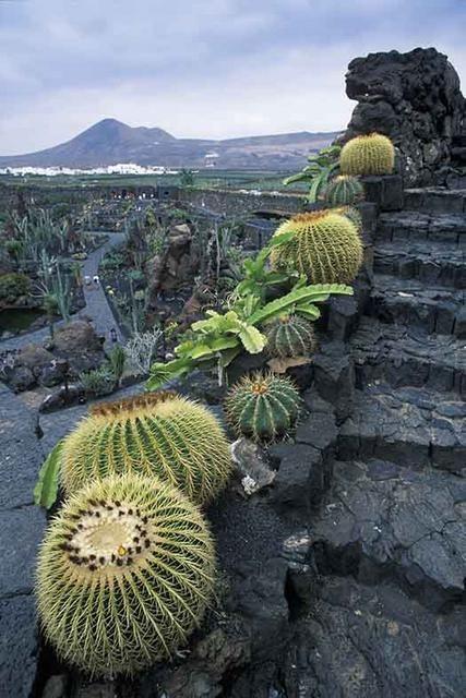 Imagenes de cactus cactus suculentas y escalera for Fotos de cactus