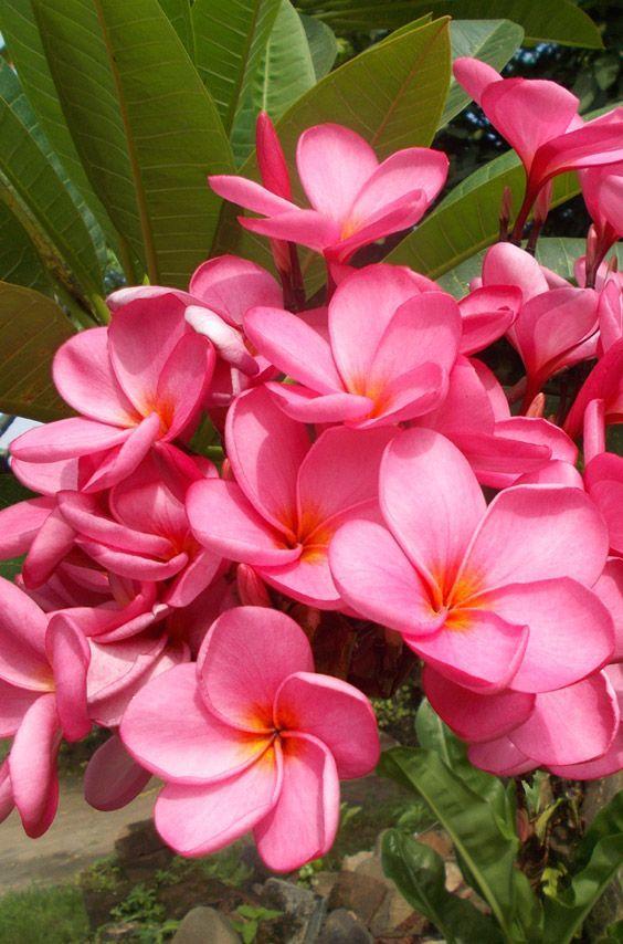Frangipani Or Plumeria By Heru Purwanto Plumeria Flowers Pink Flowering Trees Hawiian Flowers