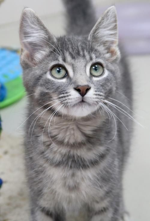 Hi I M Smudge I M A 3 Month Old Gray Blue Or Silver Tabby Domestic Short Hair Grey Tabby Cats Grey Kitten Cats