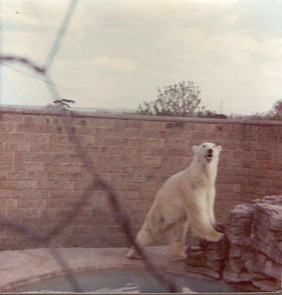 Polar Bear at Chessington Zoo c. 1970s