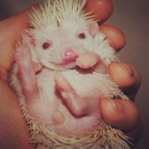 Super cute baby albino hedgehog :):