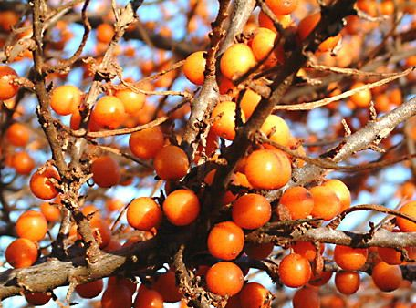 Seabuckthorn berry is rich in vitamins and nutrients to protect the skin cell membrane and enhance skin cell regeneration.