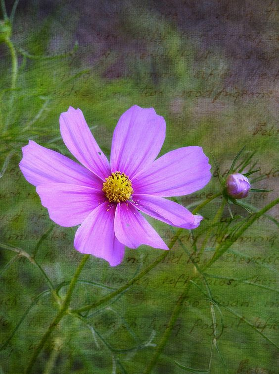 Cosmos with texture and a little bud. | por Betsy J...