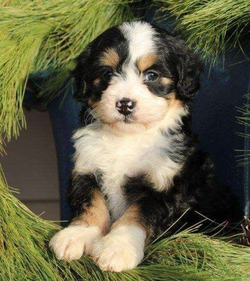 Mini Bernedoodle Puppies For Sale In 2020 Greenfield Puppies Bernedoodle Puppy Puppies For Sale