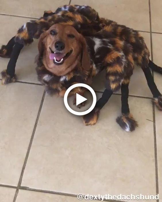 Fantasia de aranha para cachorro