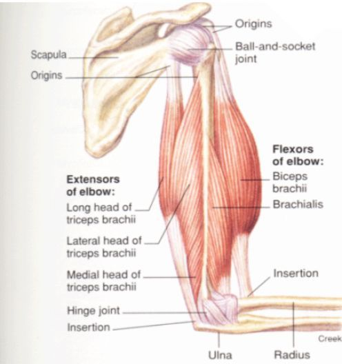 triceps photos and anatomy on pinterest : triceps diagram - findchart.co