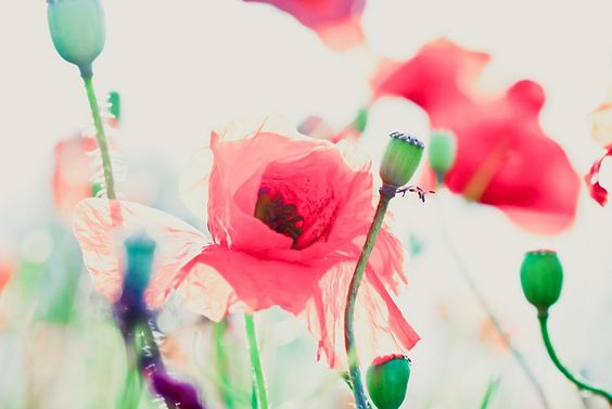 lovepastels:  painterly poppies by photoart33 on Flickr.