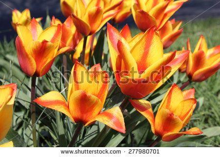 Wild tulip (Tulipa sylvestris)