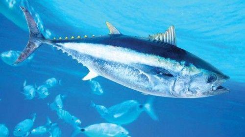 معلومات عن سمك التونة بالصور والفيديو Ocean Fish Pet Animals