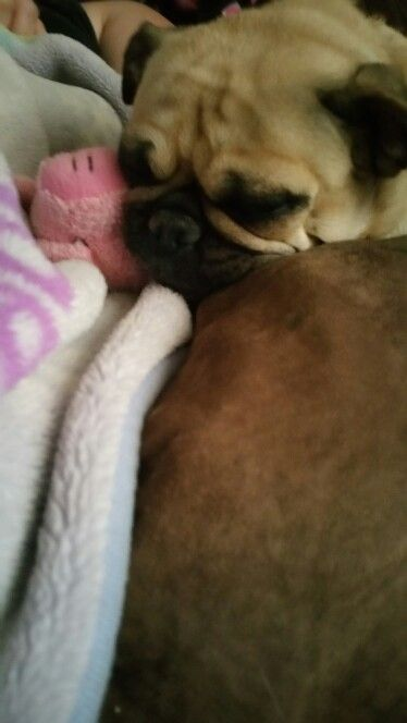 My pug Snuggles, guarding her toy piggy as she sleeps