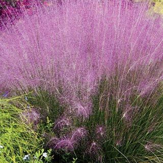 Pink Muhly Grass-eat, tidy mounds of dark green, semi-glossy foliage produce airy cotton candy pink plumes in late summer that last through the end of fall.