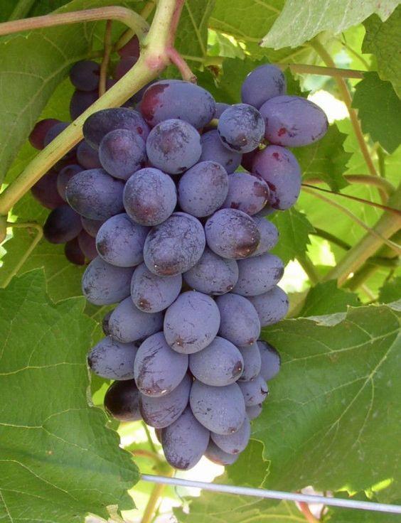 Heirloom Concord Grape Seeds ~ 25 - $6.85