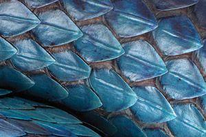 Vogel's pit viper (Trimeresurus vogeli)