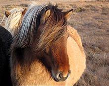Islandais (cheval)
