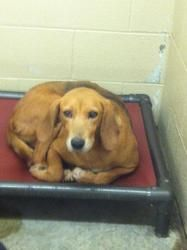 SweetPea is an adoptable Hound Dog in Pikeville, KY. Adoption fee is $50! This fee covers spay/ neuter ,first set of shots, first de-worming, Pike County dog tag and a bag of food.The shelter is open ...