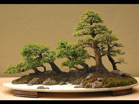 "Chinese Elm Ulmus Parvifolia Bonsai Care Instructions Youtube ˶""재나무 ˶""재 ̓œì–'ê´'"