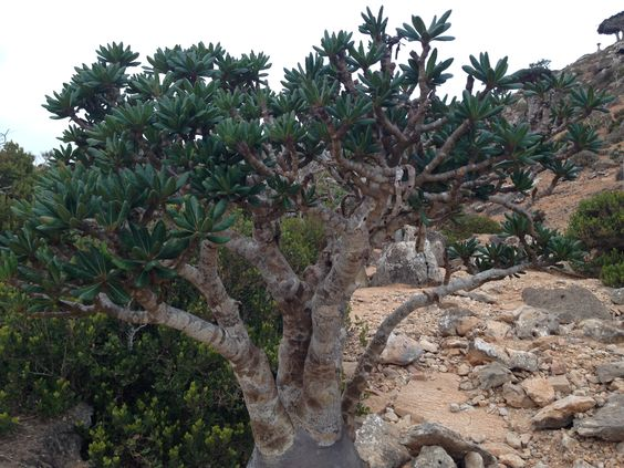 I will accompany a group of tourists to Socotra during the Christmas holidays and New Year, and the following groups in January 2015 Our agency Socotra International eco-tours organizes tours to the highest standards of eco-tourism. This is very serious and reliable company. The main task of not only the right to build routes to surprise and please our visitors, but also to maintain the integrity of nature and recreational areas on the island. Feel free to contact me for a new wonderfull…
