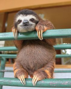 baby sloth at the sloth sanctuary in Costa Rica. these guys are adorable.