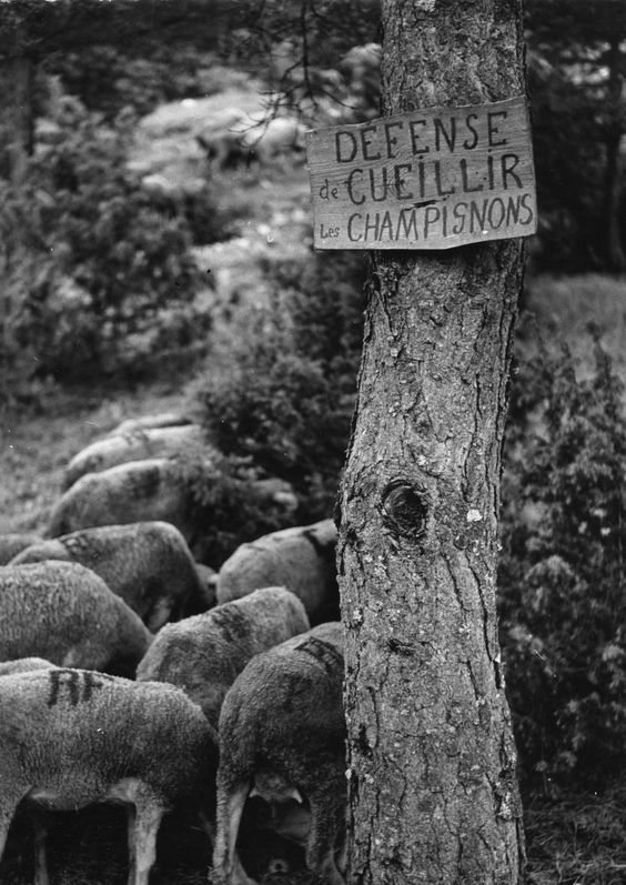 Robert Doisneau // Animals: Transhumance - Défense de cueillir les champignons 1958