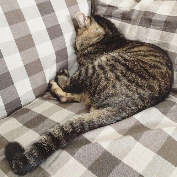 夕方ムサシさん。ムギュッとお昼寝。Catnap. #しっぽ祭 #musashi #mck #cat #キジトラ #ムサシさん