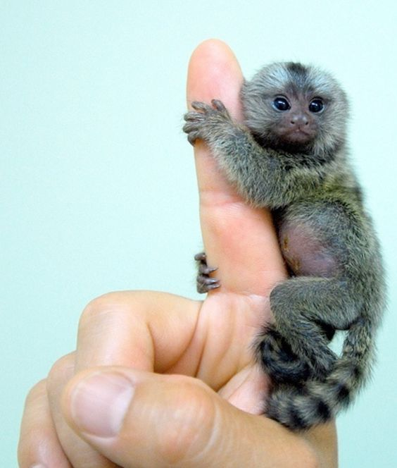 My kindergartener told her class that her favorite animal is a Pygmy Marmoset.