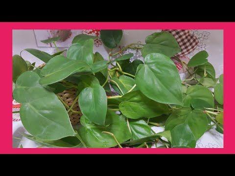 Philodendron Scandens Trasplante Filodendro De Hoja De Corazón Sustrato Ideal Scandens Youtube Filodendro Plantas Hojas