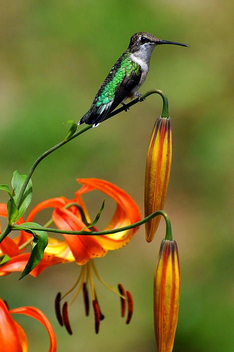 Hummer Resting On Lily by Alan Lenk - Hummer Resting On Lily Photograph - Hummer Resting On Lily Fine Art Prints and Posters for Sale