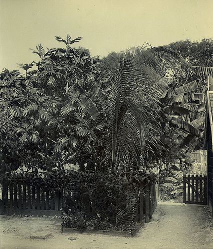 Breadfruit Tree, Barbados | by The Caribbean Photo Archive