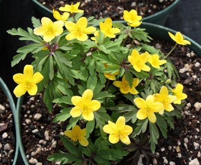 Show details for Anemone ranunculoides ssp ranunculoides