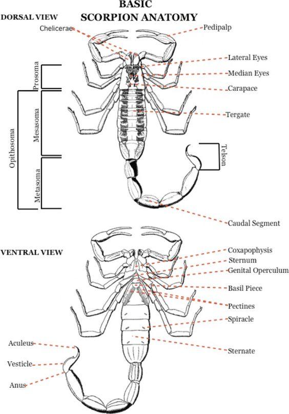 scorpion and anatomy on pinterest : scorpion diagram - findchart.co