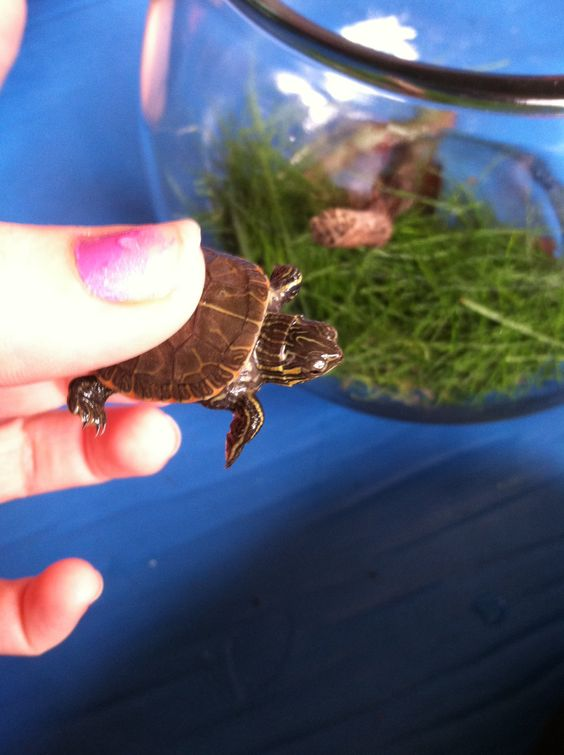 I just found this baby turtle and it's so cute!!!