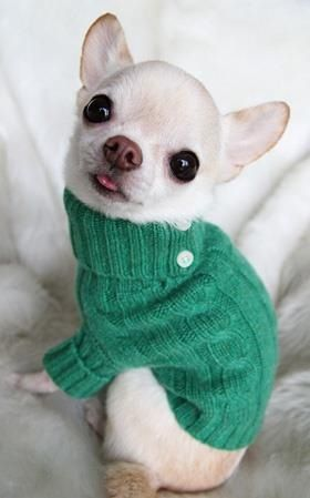 the white chihuahuas are really really cute... they all are, really. #dogsfunnychihuahua #chihuahua
