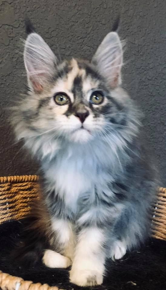 Maine Coon Kittens for Sale - Buy a Giant Maine Coon - Maine Coon...