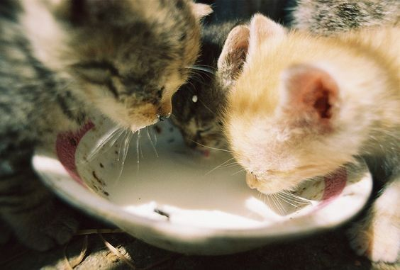 Lactose Intolerance Why Milk Is Bad For Cats Cats Animals The Cat Returns