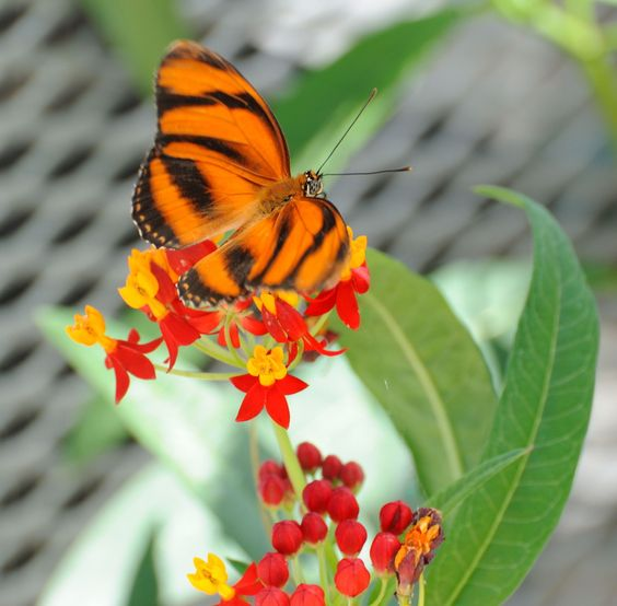 Butterflies LIVE!is coming back toLewis Ginter Botanical Gardenbeginning on May 25, 2012.