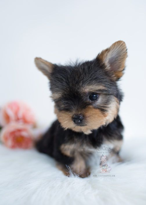 Yorkie Terrier Toy Puppy For Sale Teacup Puppies Boutique 291 Cuteteacuppuppies Yorkie Terrier Toy Puppy Yorkie Terrier Teacup Puppies Teacup Puppies For Sale