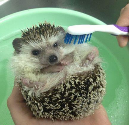 Biddy the Hedgehog - Babble    BATH!!: