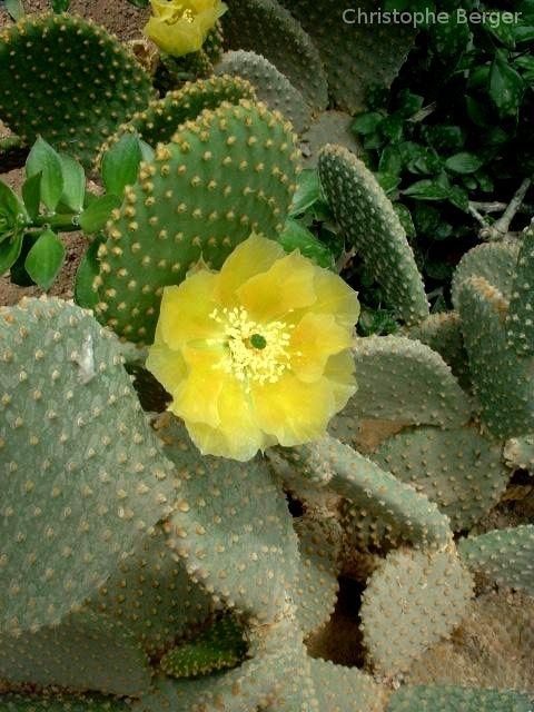 Opuntia microdasys var. pallida en fleur