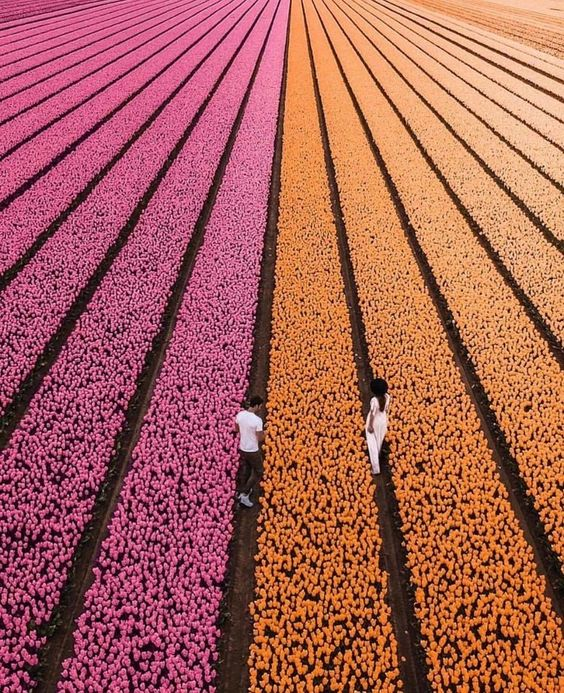 20. The perfect view of these rows of tulips
