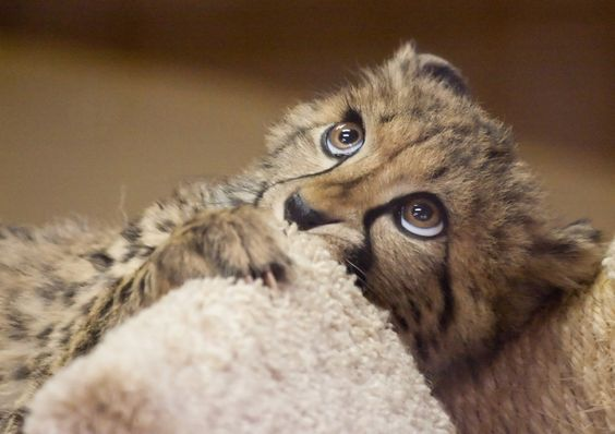 I could just melt into her eyes!: Funny Animals, Big Cats, Big Eyes, Adorable Animals, Beautiful Animals, Cheetah Cub, Baby Animals, Wild Cats, Baby Cheetahs