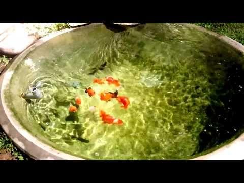Youtube Goldfish Pond Goldfish Tank Goldfish