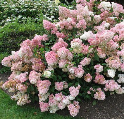 Hydrangea paniculata Vanille Fraise at Jacksons Nurseries. Smuk syrenhortensia både i sol og halvskygge.