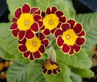 Primula elation 'Gold Lace' (Polyanthus 'Gold Lace') Get care advice to your inbox every month - add this plant to your personal list.