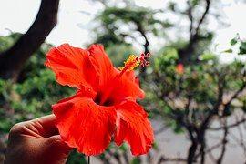 Flor, Hawaiano, Hibisco, Rojo