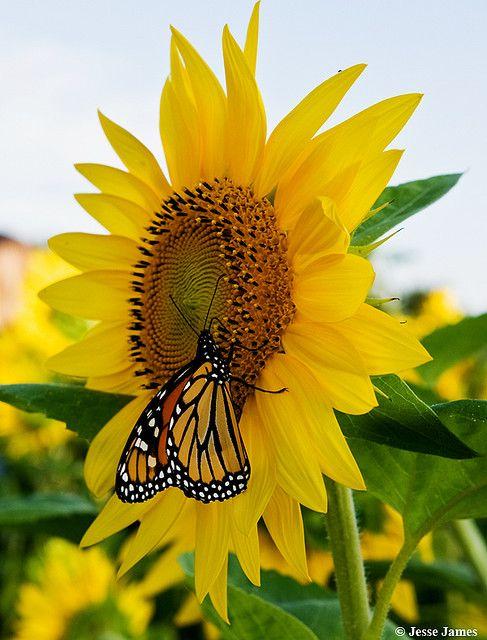 In memory of my Grandma:  Monarch on Sunflower