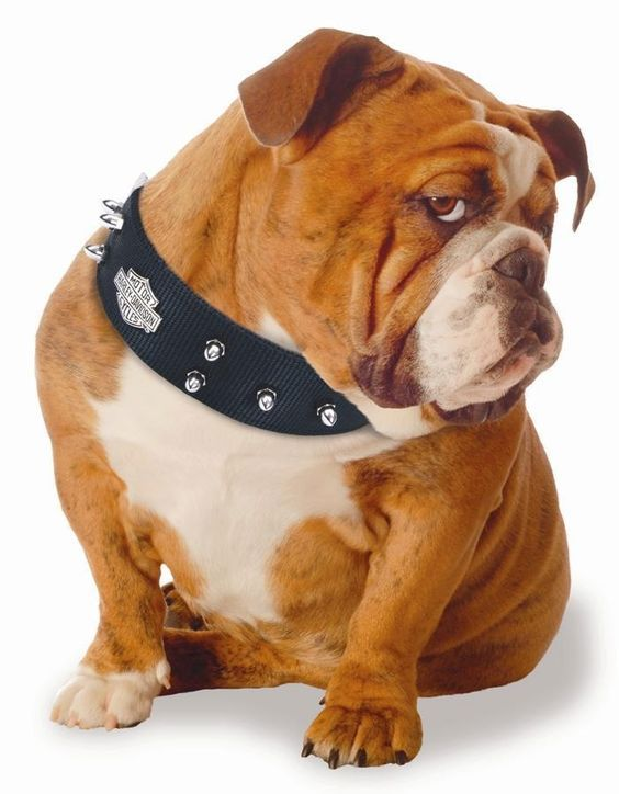 Here Are Some Of The Best English Bulldog Names From The Good