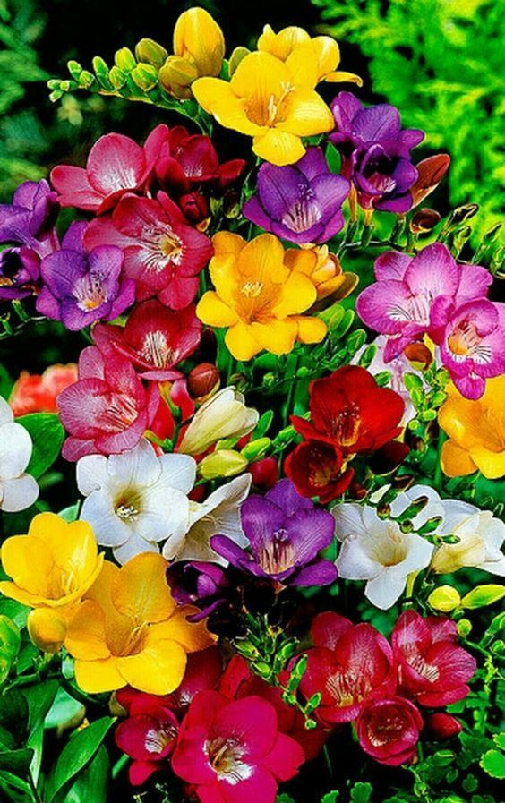 Pin By Patti Brown On Viragok Beautiful Flowers Freesia Flowers Bulb Flowers